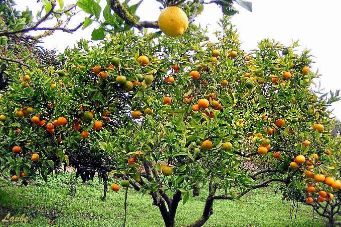 El Socialismo propone la plantación de árboles frutales en la ciudad