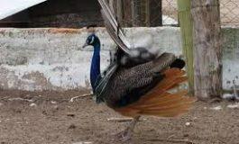 Nacieron pavos reales en el Lago de los Cisnes