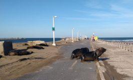 Controlan en el tránsito en la escollera para resguardar la colonia de lobos