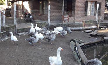 Lago de los Cisnes: Bromatología  asegura que el estado de los animales es bueno