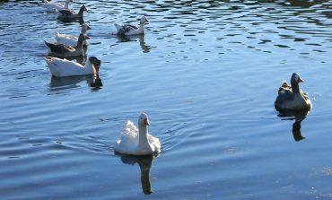 Vecinos denuncian que los echaron del Lago de los Cisnes cuando fueron a dar de comer a los animales